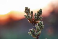 Hojas frescas de la primavera en una puesta del sol del árbol Foto de archivo libre de regalías