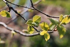 Hojas frescas de la primavera en una puesta del sol del árbol Foto de archivo
