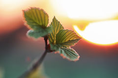 Hojas frescas de la primavera en una puesta del sol del árbol Fotografía de archivo