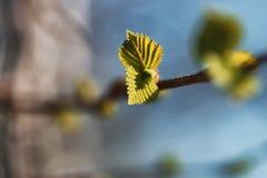 Hojas frescas de la primavera en una puesta del sol del árbol Fotos de archivo