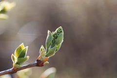 Hojas frescas de la primavera en una puesta del sol del árbol Imagenes de archivo