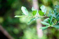 hojas frescas de la primavera verde vibrante del árbol en primavera Foto de archivo libre de regalías