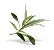 Hojas frescas de la rama de olivo Foto de archivo libre de regalías