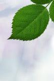 Hojas frescas de un árbol contra un cielo blanco Foto de archivo libre de regalías