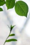 Hojas frescas de un árbol contra un cielo blanco Foto de archivo