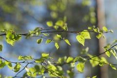 Hojas frescas del abedul de la primavera Fotos de archivo