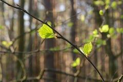 Hojas frescas del abedul de la primavera Imagenes de archivo