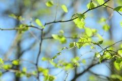 Hojas frescas del abedul de la primavera Foto de archivo