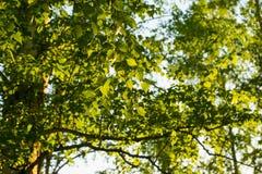 Hojas frescas del abedul de la primavera en luz del sol Fotografía de archivo