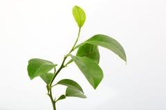 Hojas frescas del limón Imagen de archivo libre de regalías