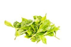Hojas frescas del té Imagen de archivo libre de regalías