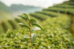 Hojas frescas del té verde Plantaciones de té Foto de archivo libre de regalías