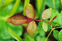 Hojas frescas del verde Fotografía de archivo libre de regalías