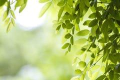 Hojas frescas del verde Foto de archivo