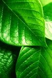 Hojas frescas del verde Foto de archivo libre de regalías