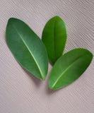 Hojas frescas del verde Concepto biológico Ingrediendts naturales fotos de archivo