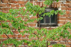 Hojas frescas en la pared de ladrillo roja Foto de archivo
