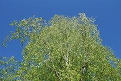 hojas frescas jovenes de la corona del abedul en el cielo azul Foto de archivo