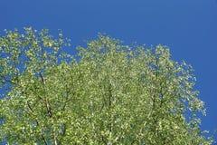 hojas frescas jovenes de la corona del abedul en el cielo azul Imágenes de archivo libres de regalías