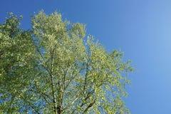 hojas frescas jovenes de la corona del abedul en el cielo azul Fotografía de archivo libre de regalías