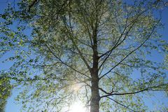 hojas frescas jovenes de la corona del abedul en el cielo azul el sol ilumina Imagenes de archivo