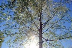 hojas frescas jovenes de la corona del abedul en el cielo azul el sol ilumina Imágenes de archivo libres de regalías
