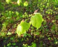 Hojas frescas verdes del árbol de la primavera, Lituania Imagen de archivo libre de regalías