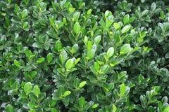 Hojas frescas verdes del árbol de mango en la India Imagen de archivo