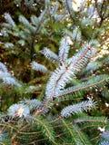 Hojas frescas y quebradizas del árbol de pino imagen de archivo libre de regalías