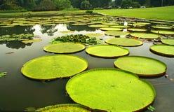 Hojas gigantes de los lirios de agua amazónicos en Bogor Imagen de archivo libre de regalías