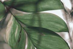 Hojas grandes de la planta tropical foto de archivo libre de regalías