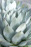 Hojas grandes del Succulent Imagen de archivo
