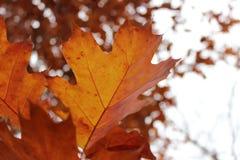 Hojas hermosas brillantes de la naranja en la caída Imagenes de archivo