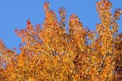 Hojas hermosas de Autumn Maple del fondo Imágenes de archivo libres de regalías