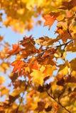 Hojas hermosas de Autumn Maple del fondo Imagen de archivo