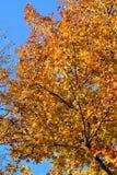 Hojas hermosas de Autumn Maple del fondo Imagenes de archivo