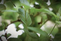 Hojas hermosas de la planta santa de la albahaca imágenes de archivo libres de regalías