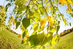 Hojas hermosas del árbol de abedul del otoño Fotos de archivo