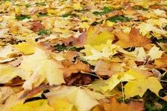 Hojas hermosas del amarillo en la tierra Fotografía de archivo libre de regalías