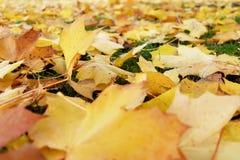 Hojas hermosas del amarillo en la tierra Fotos de archivo libres de regalías