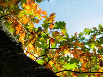 Hojas hermosas del autum del árbol de arce Foto de archivo