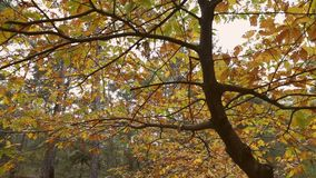 Hojas hermosas del ?rbol en Autumn Time almacen de video