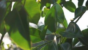 Hojas hermosas del verde Árbol de arce hermoso del verde del verano que balancea en el viento almacen de metraje de vídeo