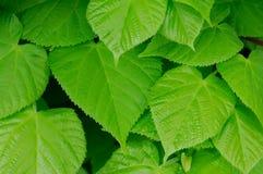Hojas hermosas del verde Imagenes de archivo