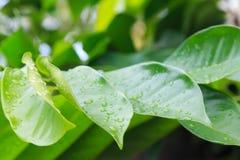 Hojas hermosas del verde Foto de archivo