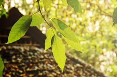 Hojas hermosas del verde destacadas Imagen de archivo