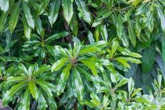 Hojas hermosas del verde en el jardín Foto de archivo