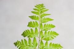 Hojas hermosas del verde en fondo gris Fotos de archivo libres de regalías