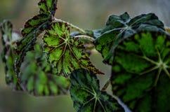 Hojas hermosas, verdes en las plantas caseras imágenes de archivo libres de regalías