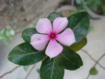 Hojas imperecederas de la flor y del verde Fotos de archivo